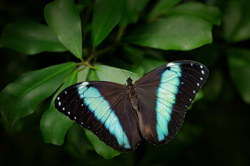 Beautiful insect in the nature habitat, wildlife scene. Butterfly in the green forest in Colombia, Central America. Blue butterfly. Morpho achilles, big butterfly sitting on green leaves