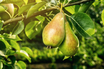 pears on a branch,unripe green pear,Pear tree,Tasty young pear hanging on tree,Summer fruits garden.Crop of pears,Healthy Organic Pears. Juicy flavorful pears of nature background.