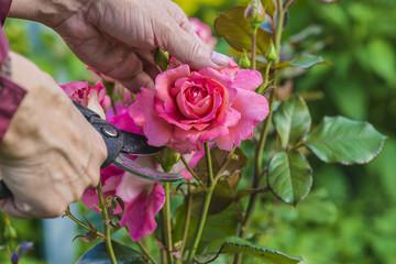 Fototapeta rose gardening concept/hand holding sicssors and cutting the rosebush obraz
