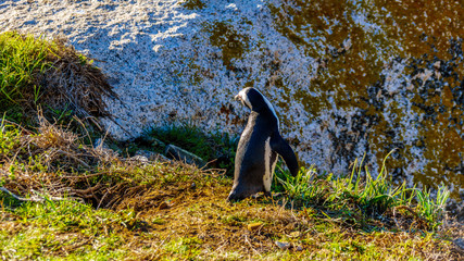 Penguin at Boulders Beach. Boulder Beach is a popular nature reserve and home to a colony of African Penguins, in the village of Simons Town in the Cape Peninsula of South Africa