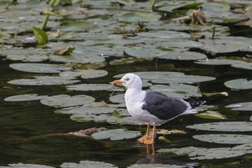 Silbermöwe(n) im See beim Bad
