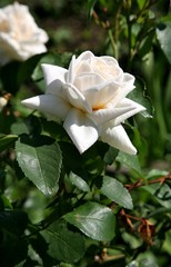 beautiful cream rose