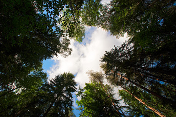 The sky with clouds through the pines