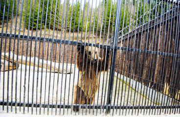 Sad brown bear in a zoo cage