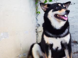 Shiba Inu, Black color, cute Japanese dog side face