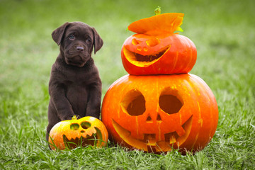 Puppy Labrador Posing With Halloween Pumpkin Symbol