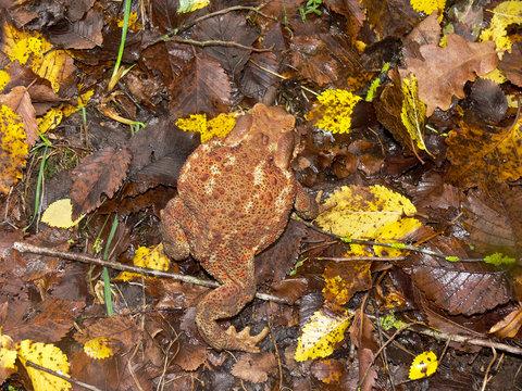 rospo comune (Bufo bufo) - ritratto tra le foglie