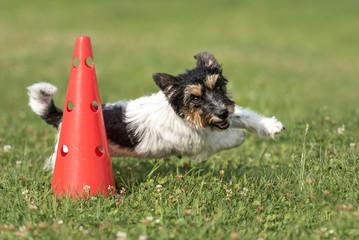 Hund rennt schnell um einen Kegel - Jack Russell Terrier 2,5 Jahre alt