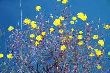 Yellow flowers against the background of blue water