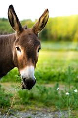 Portrait of a brown donkey outside in the field