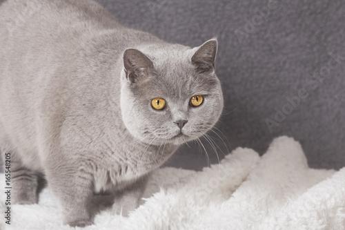 dicke katze auf decke stockfotos und lizenzfreie bilder auf bild 165548205. Black Bedroom Furniture Sets. Home Design Ideas