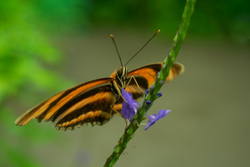 Banded orange heliconian butterfly close-up.