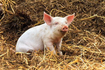Cute baby piglet (sus scrofa) in straw