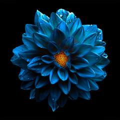 Cadres-photo bureau Dahlia Surreal dark chrome blue flower dahlia macro isolated on black