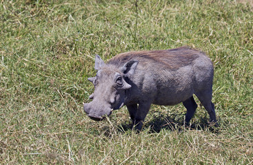 Warthog taken in Ngorongoro crater, Tanzania