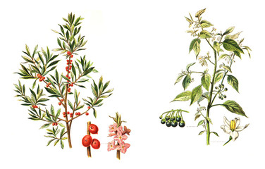 left Mezereon (Daphne Mezereum) and right European Black Nightshade (Solanum nigrum) - poisonous plants - vintage illustration