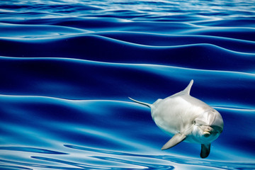 common dolphin jumping outside the blue ocean
