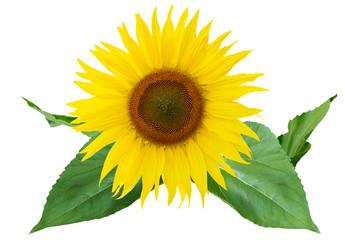 Sonnenblume freigestellt auf weissem Hintergrund mit Blättern - sunflower, free object