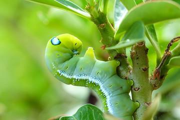 Butterfly caterpillar.