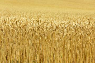 北海道の小麦畑 Hokkaido summer wheat field