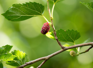 Mulberry berries on a tree branch