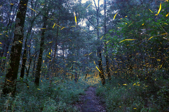 Fireflies seeking mates light up in synchronised bursts inside a forest at Santa Clara sanctuary near the town of Nanacamilpa