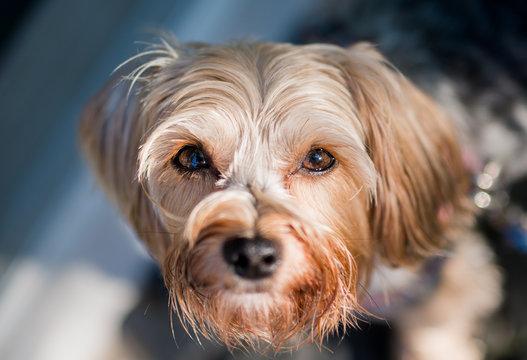 Morkie Dog Staring at Camera