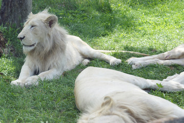White Lions Resting