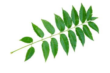 Azadirachta indica or Neem leaf isolated on white background