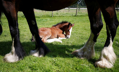 Tattoo Summer Sensation a one week old Shire horse lays next to her mother Tatton Tabitha at Tatton Farm, Knutsford