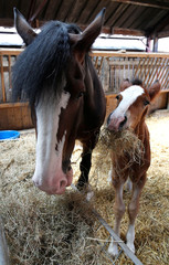 Tattoo Summer Sensation the one week old Shire horse feeds next to her mother Tatton Tabitha at Tatton Farm, Knutsford