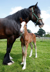 Tattoo Summer Sensation a one week old Shire horse stands next to her mother Tatton Tabitha at Tatton Farm, Knutsford