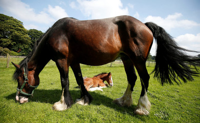 Tattoo Summer Sensation a one week old Shire horse lies next to her mother Tatton Tabitha at Tatton Farm, Knutsford