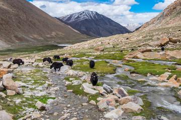 Flock of yaks around the valley near Pangong lake in Ladakh, India