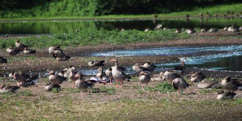 group greylag gooses (Anser anser)
