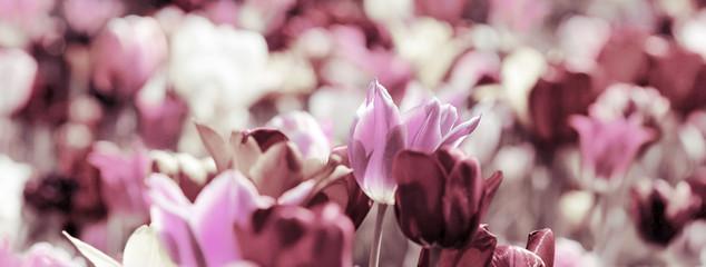 Fotoväggar - tinted tulips concept banner