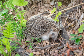 Small Hedgehog in nature