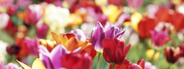 Fotoväggar - tulpen farben bunt banner