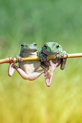 Tree frog on branch, frog