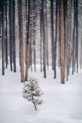 Baby pine tree in deep snow in a forest