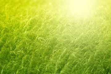 Green grass in a field in the sunlight.