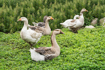 Domestic geese on village goose farm
