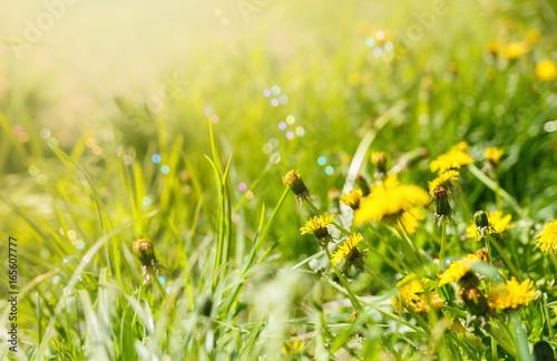 Field with dandelions in sunlight