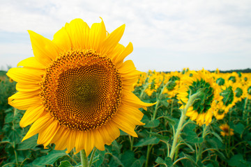 Field of flowering sunflowers bright yellow summer heat sun in each flower of the plant agricultural crops sunflower for obtaining seeds and oil