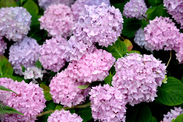 Pink inflorescences of a hydrangea (Hydrangea L.) close up