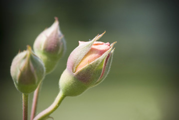 Rose Fotobehang