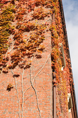 red ivy on the brick wall in autumn