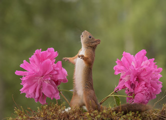 squirrel between  Peony flowers