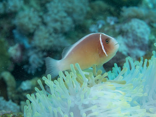 Anemone fish with Anemone at underwater