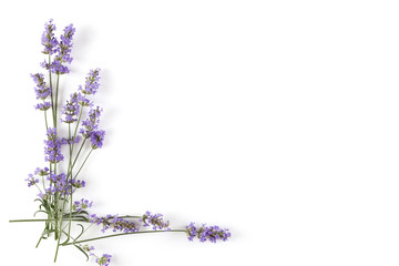 Lavender plant on white background